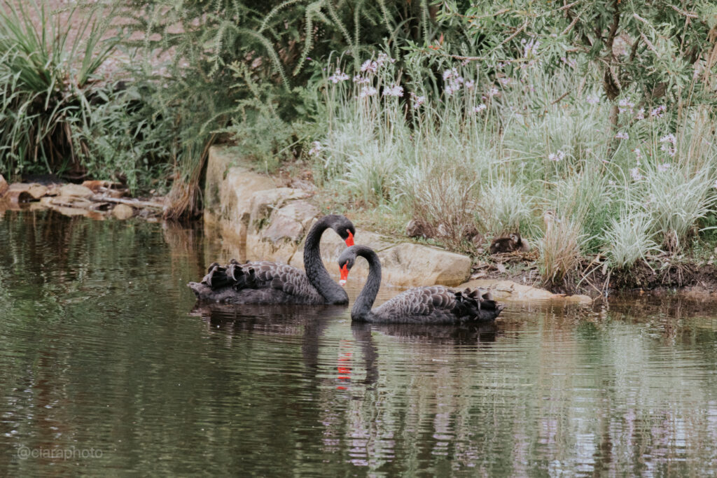 black swans at saddles